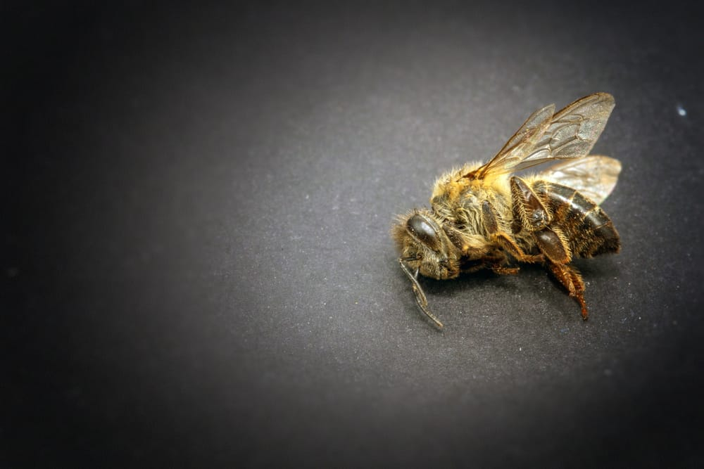 Macro image of a dead bee