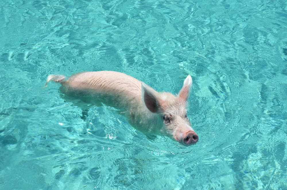 Famous swimming pigs of Exuma Cays, Bahamas