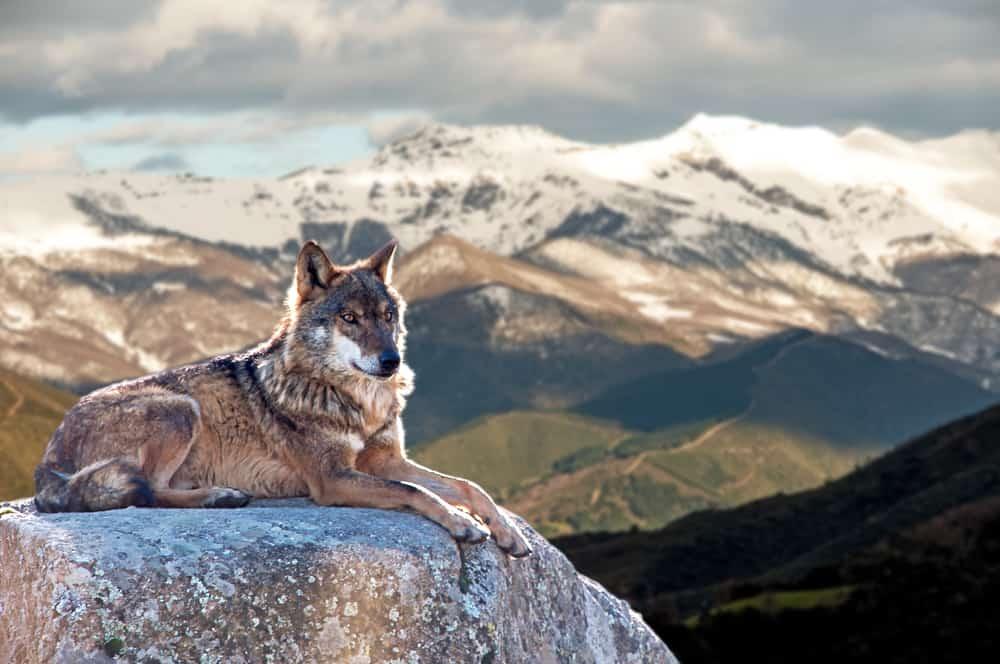 Iberian wolf lying on rocks on a snowy mountain
