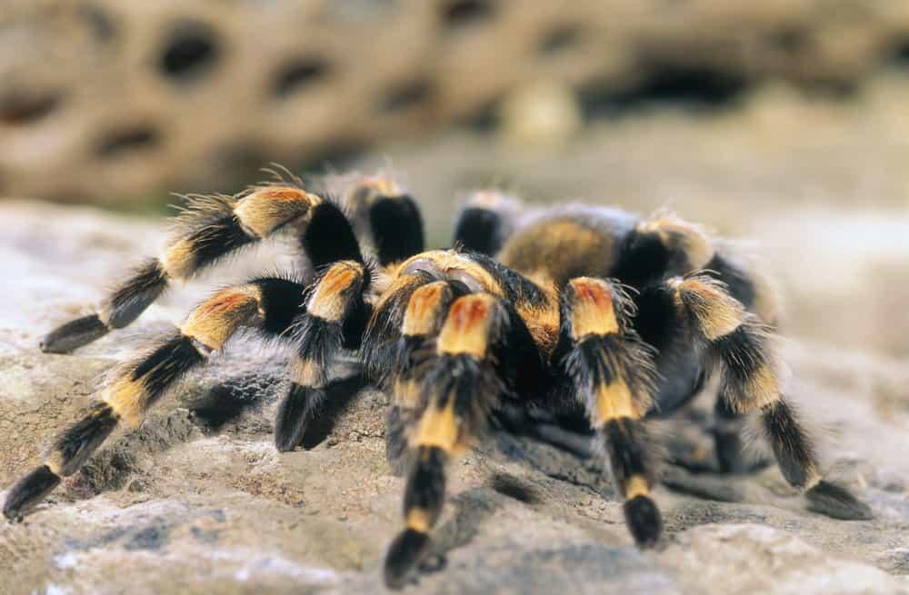 Terantula (Mexican Red Leg)