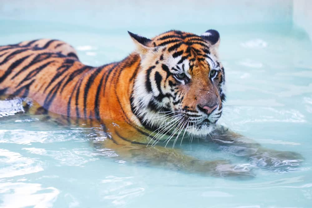 Tiger lying in the swimming pool